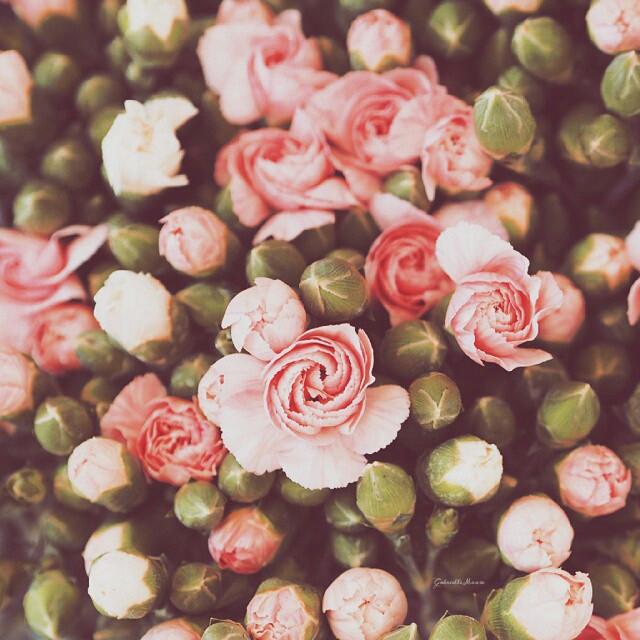 #flower #spring #summer  #roses #Pink
